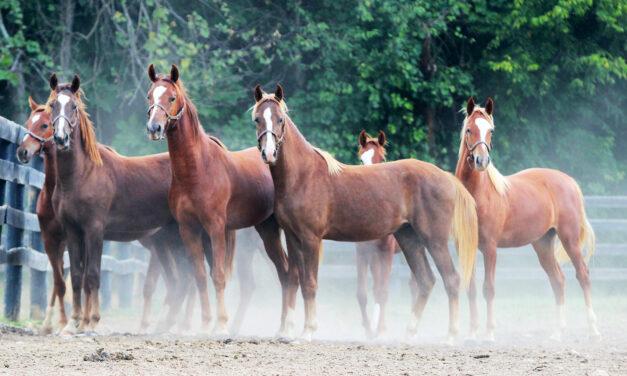 American Saddlebred – Den läckra showhästen