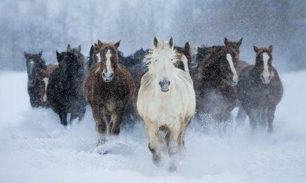 Nordiska hästar