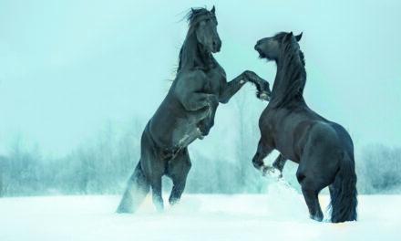 När hästen stegrar