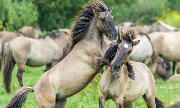 """Konik, Polens """"lilla häst"""""""