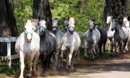 Skimmelhästar