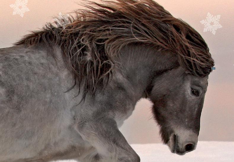 Jakutsk häst